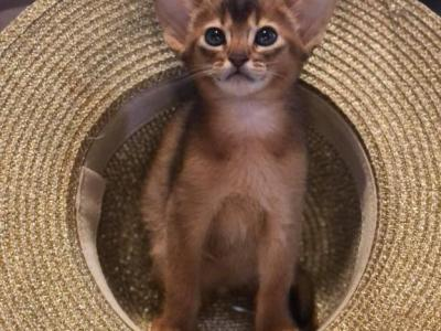 Pegas - Abyssinian - Gallery Photo #1