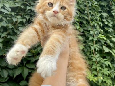 Red Girl - Maine Coon - Gallery Photo #1