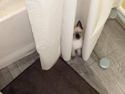 Keiki Back To School Kitties - Siamese - Gallery Photo #1