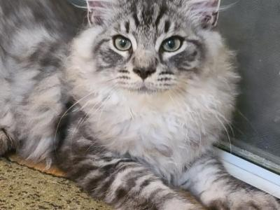 Siberian  Kittens Silver Color - Siberian - Gallery Photo #1