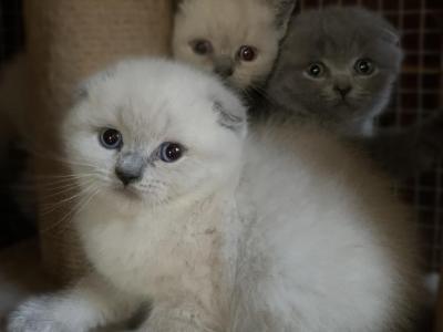 Scottish Kittens - Scottish Fold - Gallery Photo #1