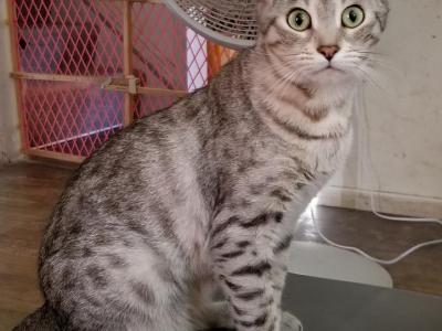 BREEDING SILVER BENGAL ADULT FEMALE - Bengal - Gallery Photo #1