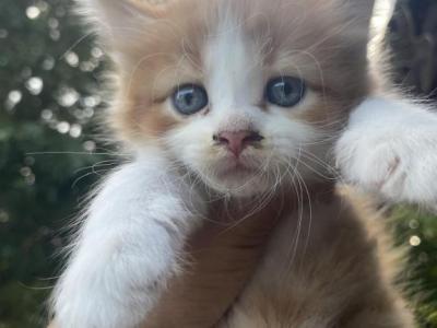 Kittens - American Shorthair - Gallery Photo #1