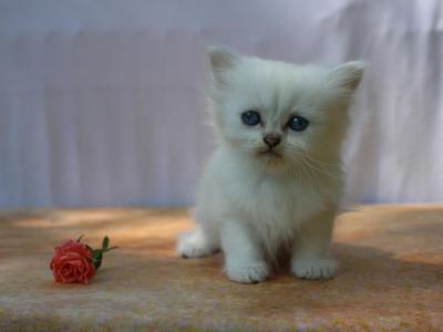75 Percent Silver British Shorthair Kittens - British Shorthair - Gallery Photo #1