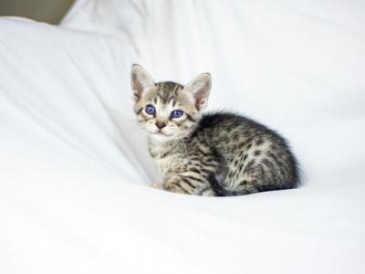 Silver Savannah Cat Female Stella F3 - Savannah - Gallery Photo #1