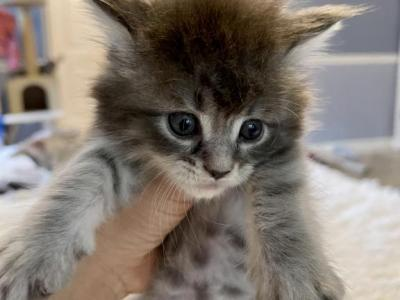 Maincoon Baby Gil - Maine Coon - Gallery Photo #1