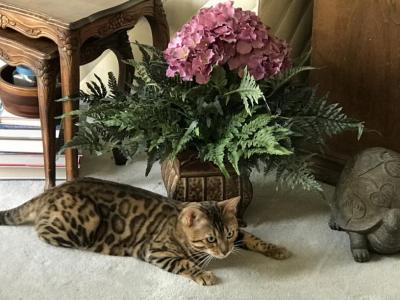 Kittens Available Now - Bengal - Gallery Photo #1