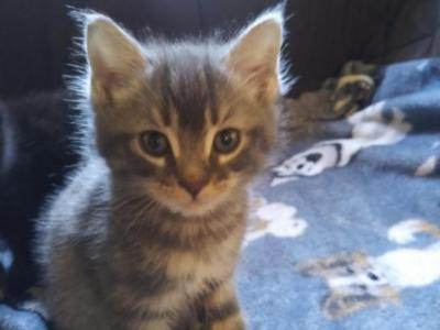 Kitty Number 6 - American Shorthair - Gallery Photo #1