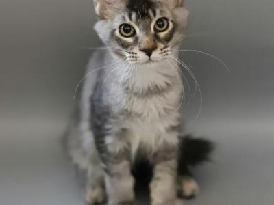 Loki Reserved - Maine Coon - Gallery Photo #1