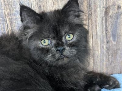 Scooby - Persian - Gallery Photo #1