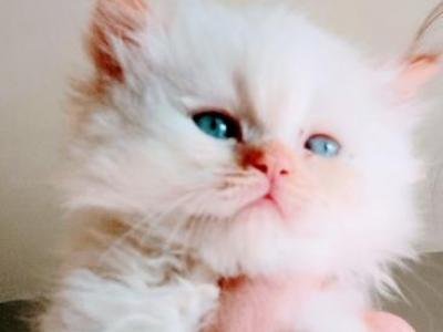 Doll Face Flame Pt Persian - Persian - Gallery Photo #1