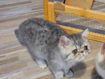 Blue Silver Tabby - Exotic - Gallery Photo #1