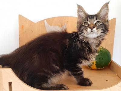 Fredi - Maine Coon - Gallery Photo #1