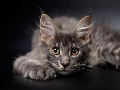 Karter - Maine Coon - Gallery Photo #1