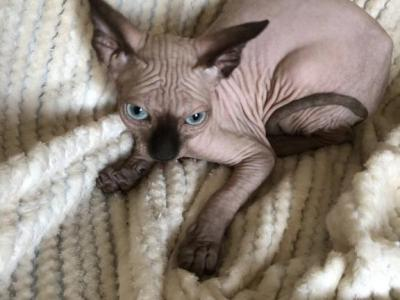 Penny Point - Sphynx - Gallery Photo #1