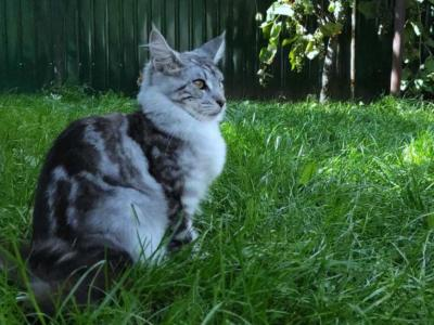 Kandy - Maine Coon - Gallery Photo #1