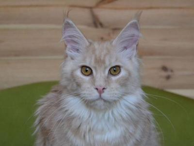 Infinity - Maine Coon - Gallery Photo #1