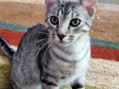 Silver Spotted Siamese Linx Point - Siamese - Gallery Photo #1