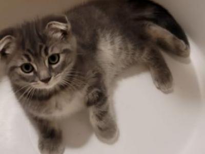 Scottish Fold Kittens - Scottish Fold - Gallery Photo #1