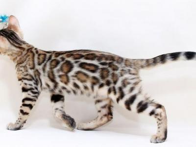 Shelby Bengal Female - Bengal - Gallery Photo #1