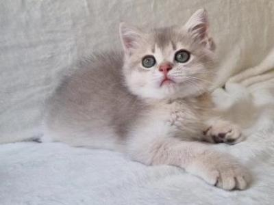 Leo Lay Lexis And Luis - British Shorthair - Gallery Photo #1