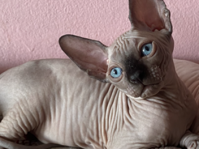 Males Available - Sphynx - Gallery Photo #1