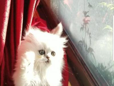 Light Sliver Shaded Chinchilla Doll Face Persian - Persian - Gallery Photo #1