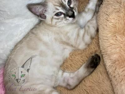 Bengal Silver Seal Charcoal - Bengal - Gallery Photo #1