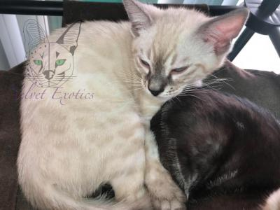 Charcoal Silver Snow Girl - Bengal - Gallery Photo #1