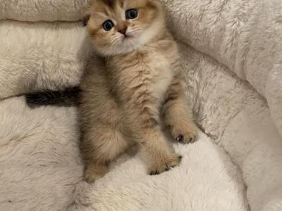 Kitty - Scottish Fold - Gallery Photo #1