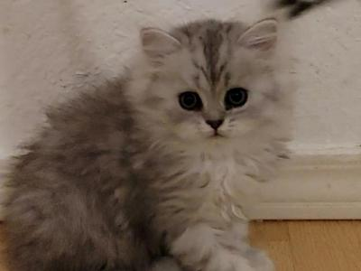 SILVER SHADED Female Kitten Number ONE Grand Champ - Persian - Gallery Photo #1