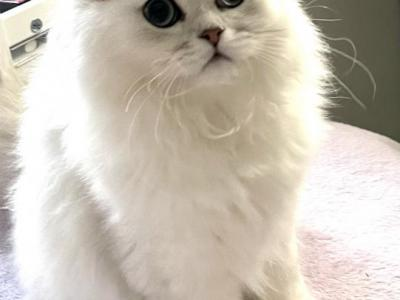 Little Miss Fluffy - Persian - Gallery Photo #1