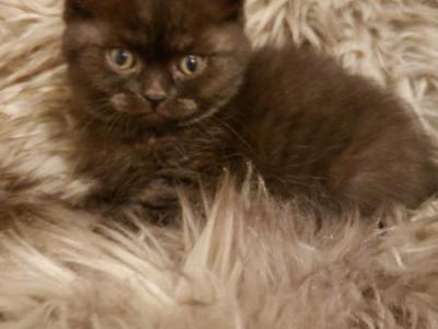 Stunning Luxury Kittens - Scottish Straight - Gallery Photo #1