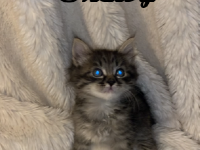 SHELBY - Maine Coon - Gallery Photo #1