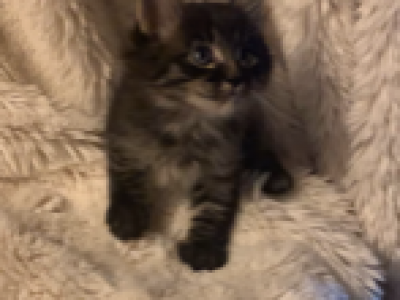 GRACIE - Maine Coon - Gallery Photo #1