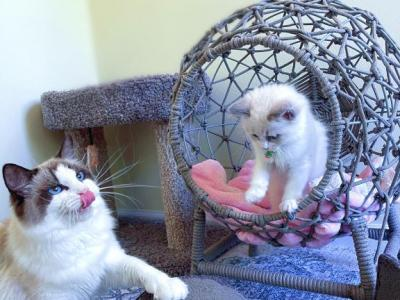 Super Cuddly And Sweet Ragdoll Baby - Ragdoll - Gallery Photo #1