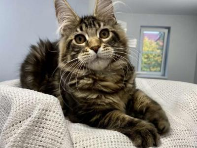 Xyl - Maine Coon - Gallery Photo #1