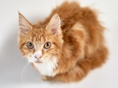Laura - Maine Coon - Gallery Photo #1