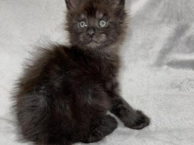 Monte Carlo - Maine Coon - Gallery Photo #1