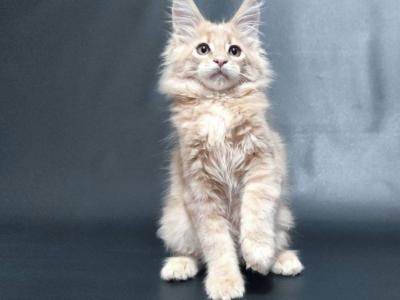 Dante - Maine Coon - Gallery Photo #1