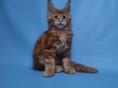 Debby - Maine Coon - Gallery Photo #1
