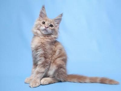 Deizy - Maine Coon - Gallery Photo #1