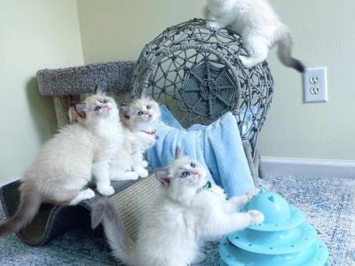 Ragdoll Kittens - Ragdoll - Gallery Photo #1