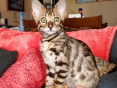 Molly - Bengal - Gallery Photo #1