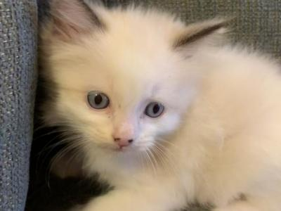 Ragdoll Registered With Papers Leo - Ragdoll - Gallery Photo #1
