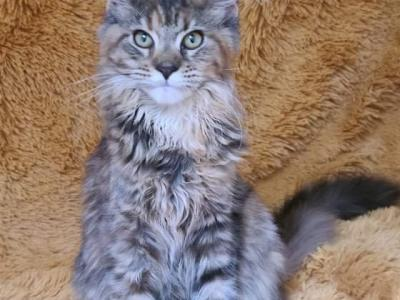Fluffy - Maine Coon - Gallery Photo #1