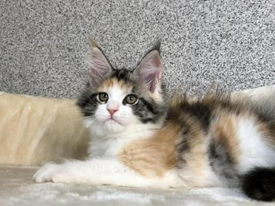 Pansy - Maine Coon - Gallery Photo #1