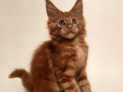 Dendy - Maine Coon - Gallery Photo #1