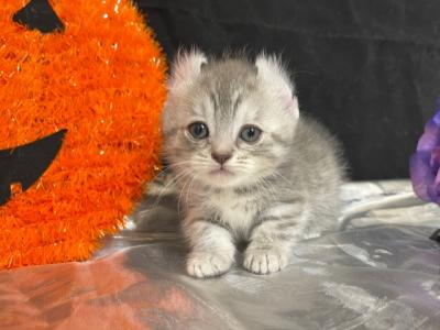 Willow - American Curl - Gallery Photo #1