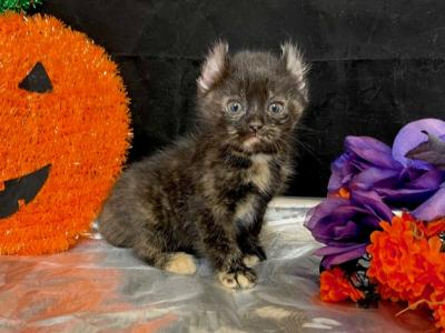 Ivy - American Curl - Gallery Photo #1